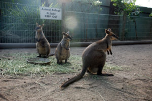 photo of the kangaroos you can see at the Featherdale Wildlife Park