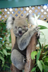 photo of an adorable koala you can meet at the Koala Sanctuary of the Featherdale Wildlife Park