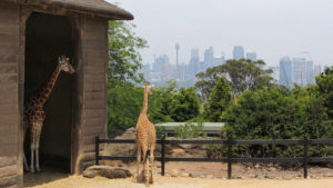 picture of giraffe at Wild life Sydney Zoo