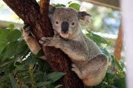 Koala bear at Taronga Zoo