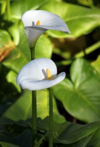 photo of white anthuriums from the Royal Botanic Gardens